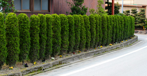 カイヅカイブキの画像 p1_34